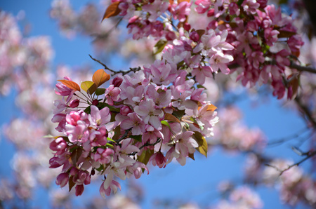 partially: Partially shaded pink flowering crab apple blossoms. Stock Photo