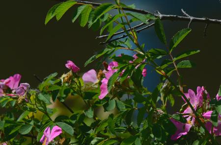 カラフルな野生のバラの花と緑の葉。