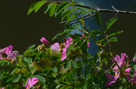 Colorful wild rose blossoms and green foliage. Stock Photo