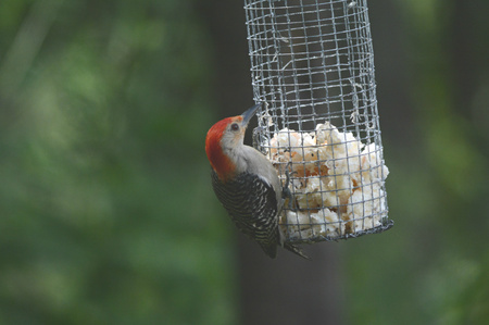 Red-bellied woodpecker visiting a hanging suet feeder.