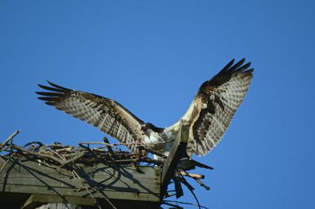 Adult osprey landing on a wooden nesting platform.