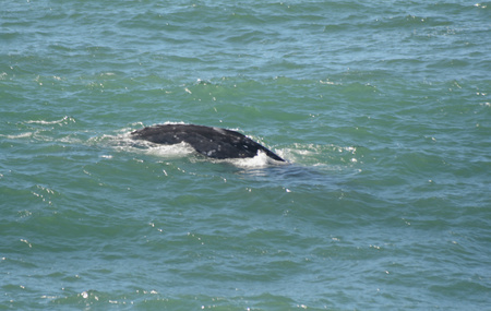 gray whale: Young gray whale surfaced in Depoe Bay, Oregon.