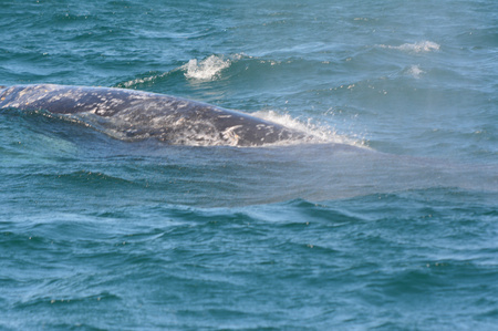 gray whale: A gray whale surfacing in Depoe Bay, Oregon coast.