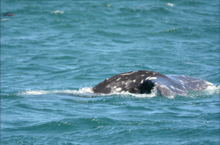 gray whale: Young gray whale surfacing in Depoe Bay, Oregon.