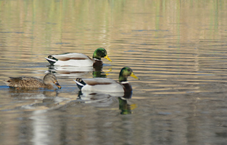 drakes: Two mallard drakes and a hen swimming in a pond.