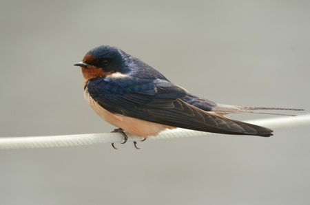 Barn swallow perching on a white wire. Stock Photo