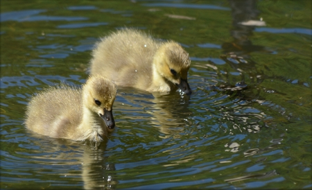 Pair of Canada goose goslings swimming in a pond.