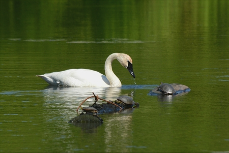 Trumpeter swan and three painted turtles on a pond. Stock Photo