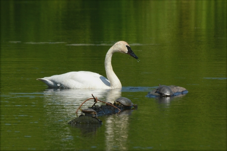 Trumpeter swan with painted turtles on a quiet pond.
