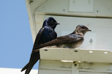 Pair of purple martins perching together on a ledge. Stock Photo