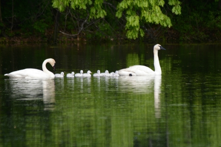 Trumpeter swan family swimming in a placid pond. Stock Photo