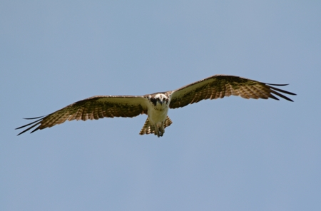 Aerial closeup on a migratory northern osprey.