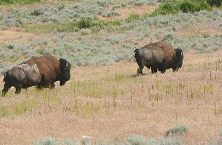 Bison pair wandering thru sagebrush and prairie grass. Reklamní fotografie