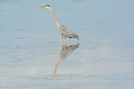 A great blue heron wading through aquatic habitat.