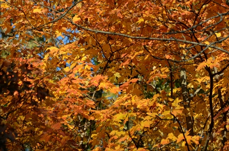 Upland maple tree foliage in peak autumn color phase.