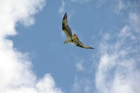 North American osprey flying thru a partly cloudy sky.