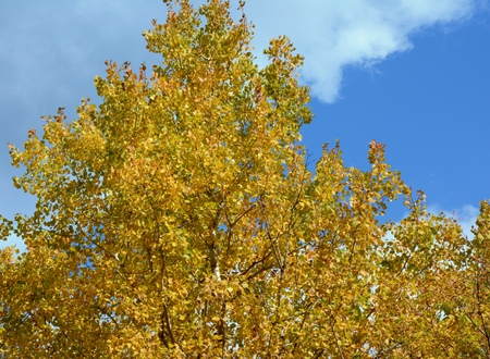 Golden autumn aspen foliage and partly cloudy sky.