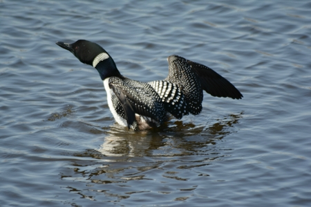 Animated common loon rising up from water surface. Stock Photo