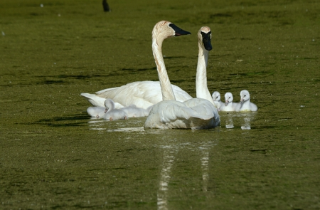 Trumpeter swan family resting in a freshwater pond.