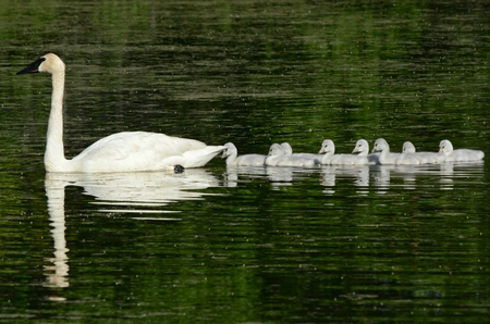Trumpeter swans swimming on a freshwater pond.
