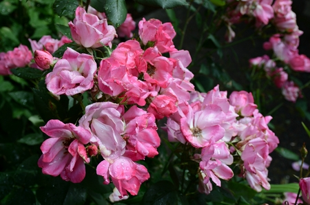 Peak rose blossoms at International Rose Test Garden. 版權商用圖片 - 106236971