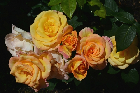 Lush rose colors at the International Rose Test Garden.