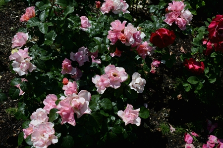 Sparkling roses at the International Rose Test Garden. Imagens