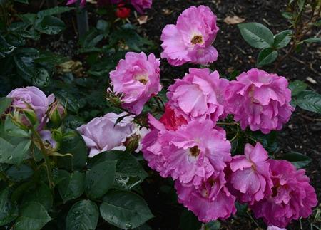 Peak rose colors at the International Rose Test Garden.