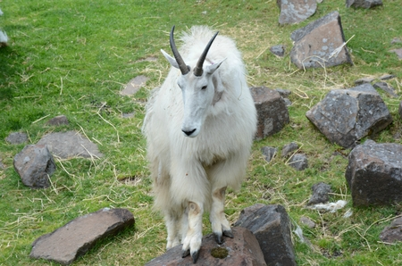 Rocky mountain billy goat standing still in a meadow.