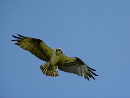 Northern osprey soaring high thru a clear blue sky.
