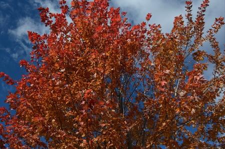 Dazzling peak autumn color on maple tree foliage. 스톡 콘텐츠