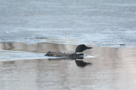 Common loon swimming through a river channel. Imagens