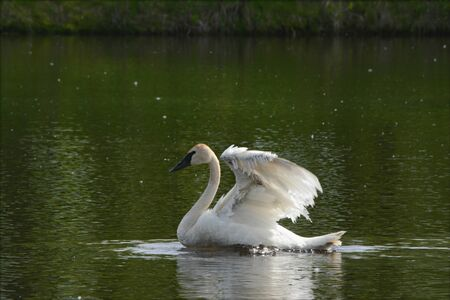 Swimming adult trumpeter swan flapping its wings.
