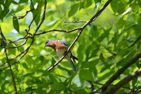 Male bluebird perching on a small branch in a forest. Banco de Imagens