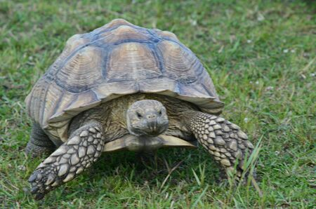 African spurred tortoise moving thru  a grassy field.