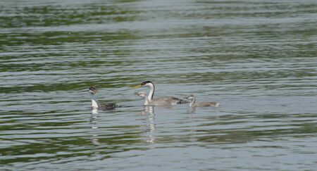 Summer view on lake swimming western grebe family. 스톡 콘텐츠