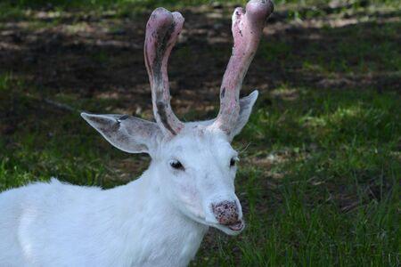 Closeup of white buck whitetail deer in shady habitat. 写真素材