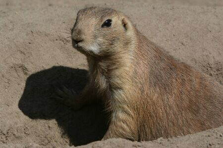 Prairie dog sitting down in the crevice of a large rock.