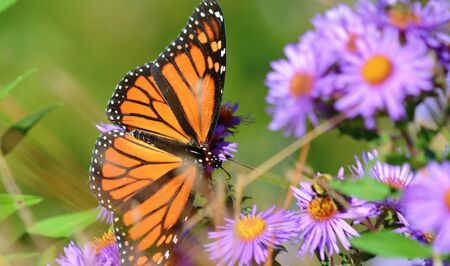 Monarch butterfly taking nectar from purple blossoms.