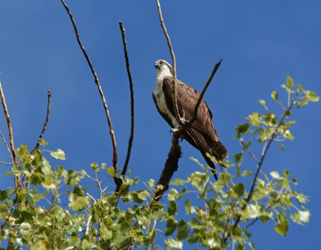Adult northern osprey perching on a bare tree branch. Banco de Imagens