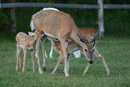 Whietail deer doe nursing two fawns in a meadow.