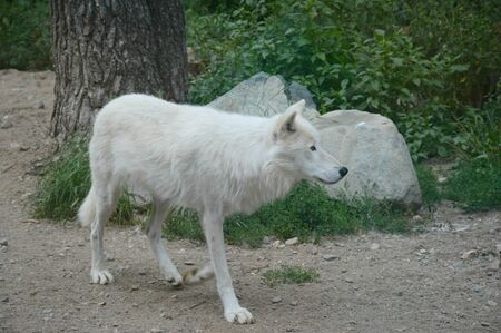 Arctic wolf walking thru a woodland summer habitat.