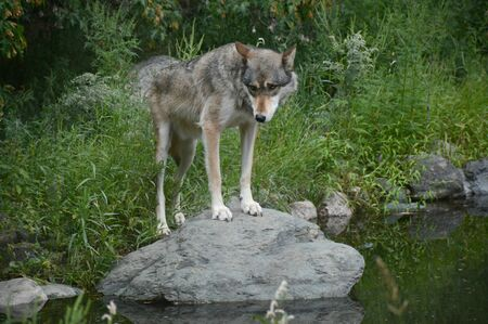 Gray wolf standing on a rock in summer environment.
