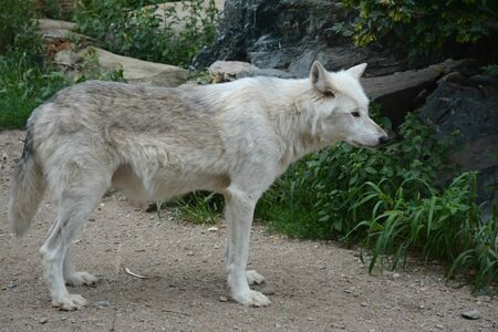 Arctic wolf standing still on a summer woodland trail.
