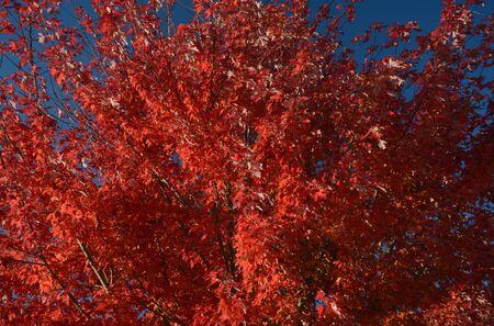 Autumn color on red maple foliage and deep blue sky. Banco de Imagens
