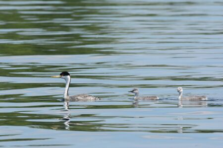 Western grebe family swimming together in a lake.