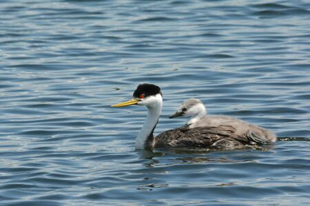Western grebe adult swimming with young on back.