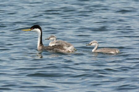 Hen western grebe swimming with two chicks in lake.