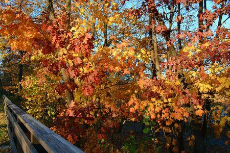 Peak autumn color on oak foliage in Twin Cities, MN. Banco de Imagens