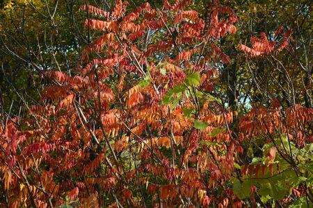 Vivid autumn colors on smooth sumac shrub foliage.